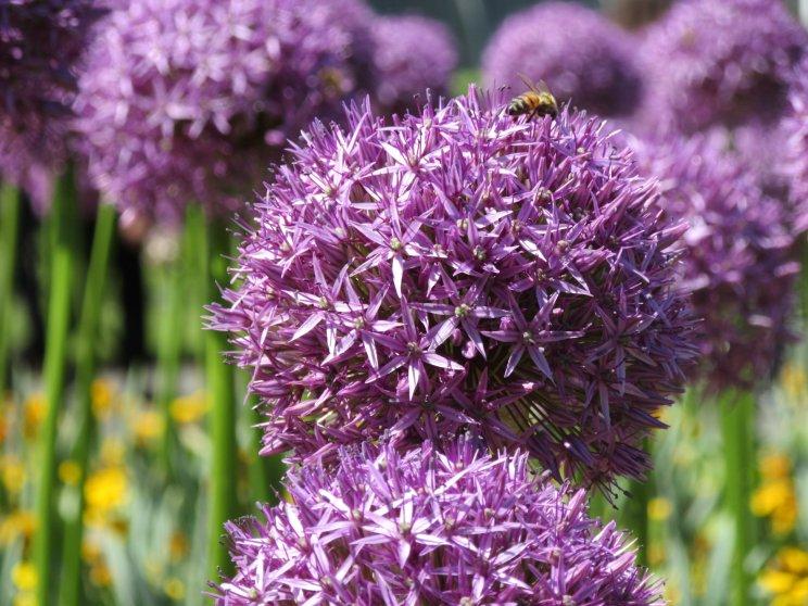 Kew Allium